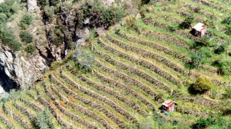 Vigneti terrazzati della Costa Viola