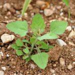 Le piante infestanti aiutano l'agricoltura